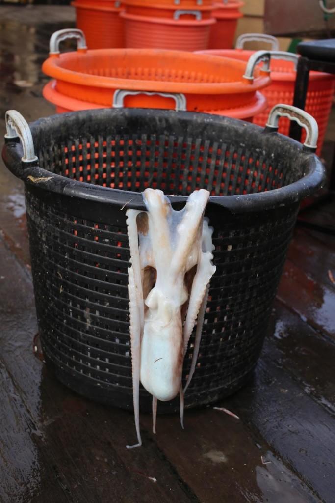aliceoctopus